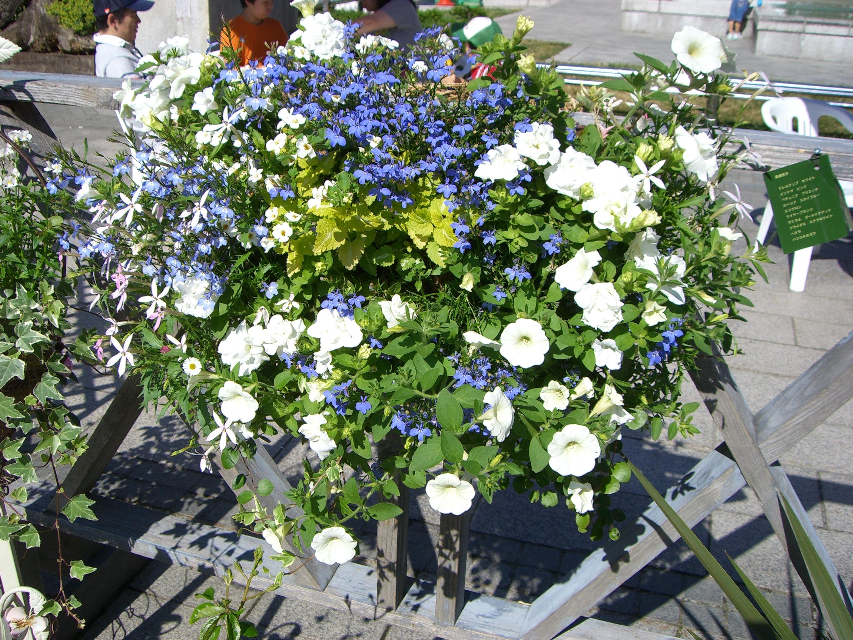 ペチュニア系の白いお花の寄せ植えハンギングバスケット