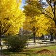 大通公園、西6丁目通のイチョウ並木