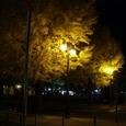 街灯に浮かび上がるイチョウ並木